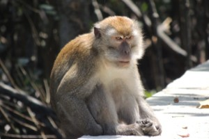 Malaysian monkeys in the sun…