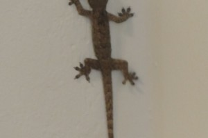 Small gecko in the office…