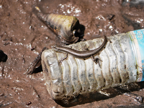 A Mangrove Skink on a plastic bottle