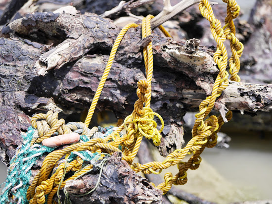 Rope knotted around the tree roots by the action of the waves