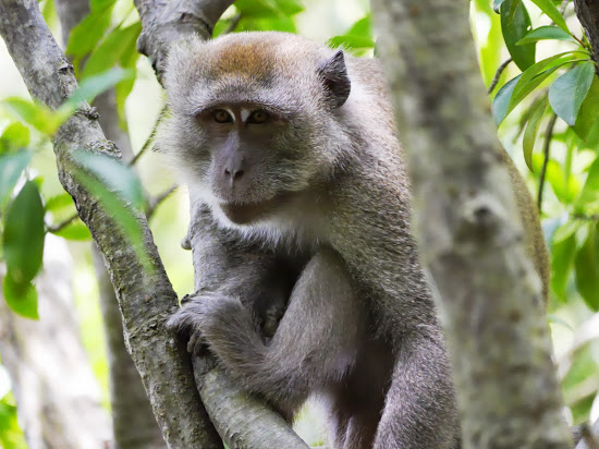 Crab-eating Macaque (Macaca fascicularis) - also on the video