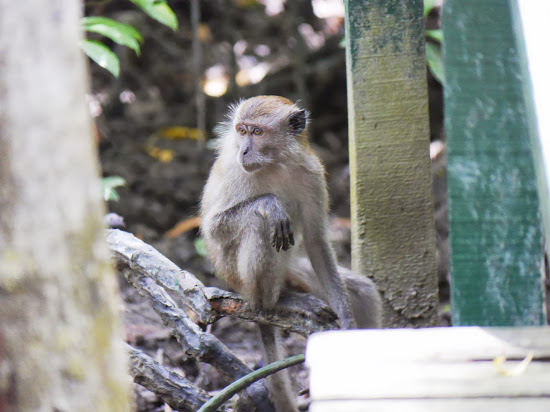 Crab-eating Macaque (<i>Macaca fascicularis</i>) - also on the video