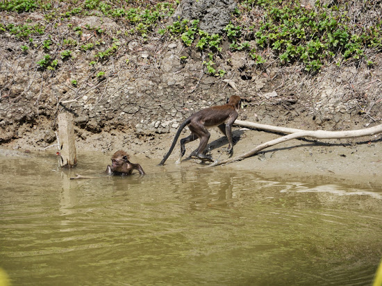 Crab-eating Macaque (Macaca fascicularis) taking a swim