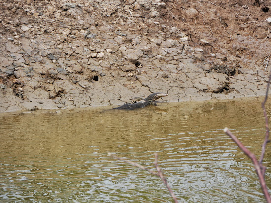 Monitor Lizard (see the video for the lizard swimming)