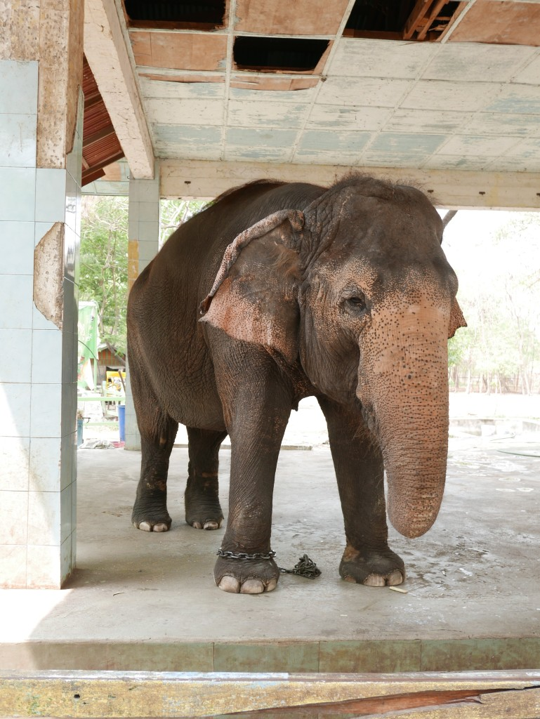 Sad looking elephant - Yadanabon Zoo, Mandalay, Myanmar