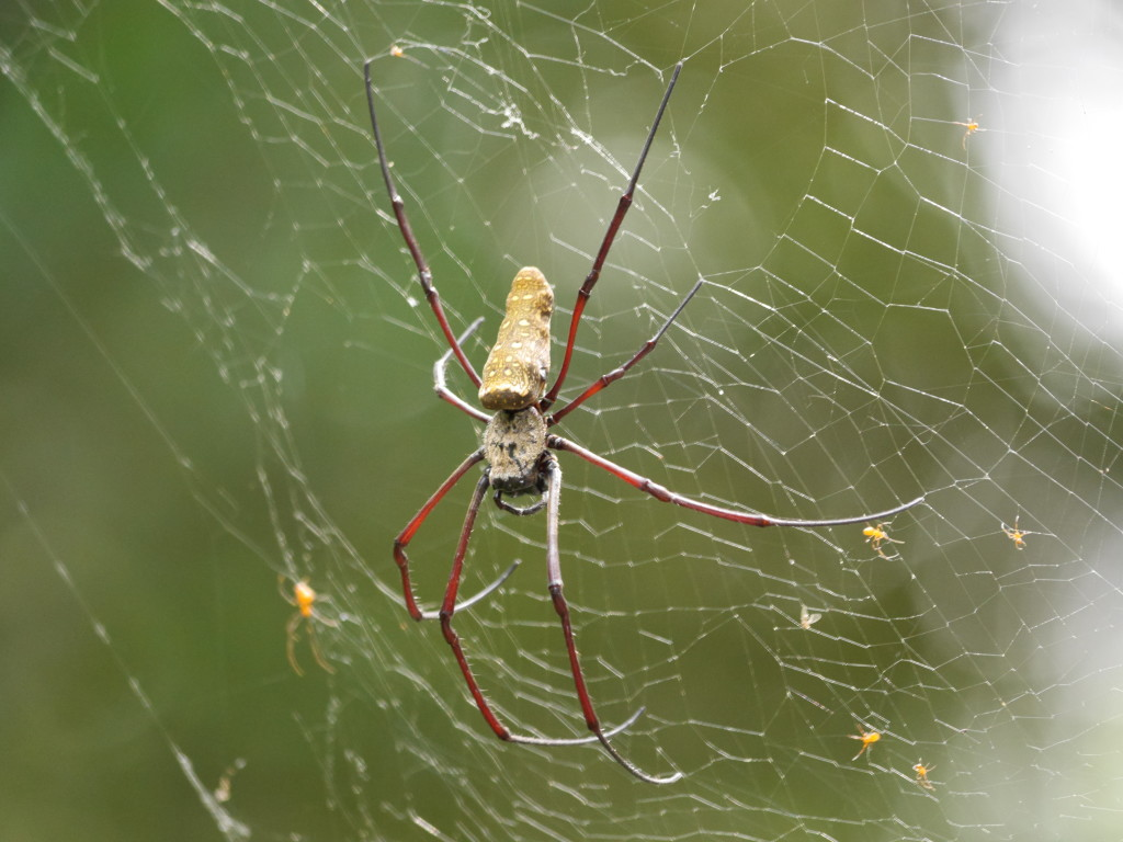 Golden Orb Spiders (Nephila pilipes)