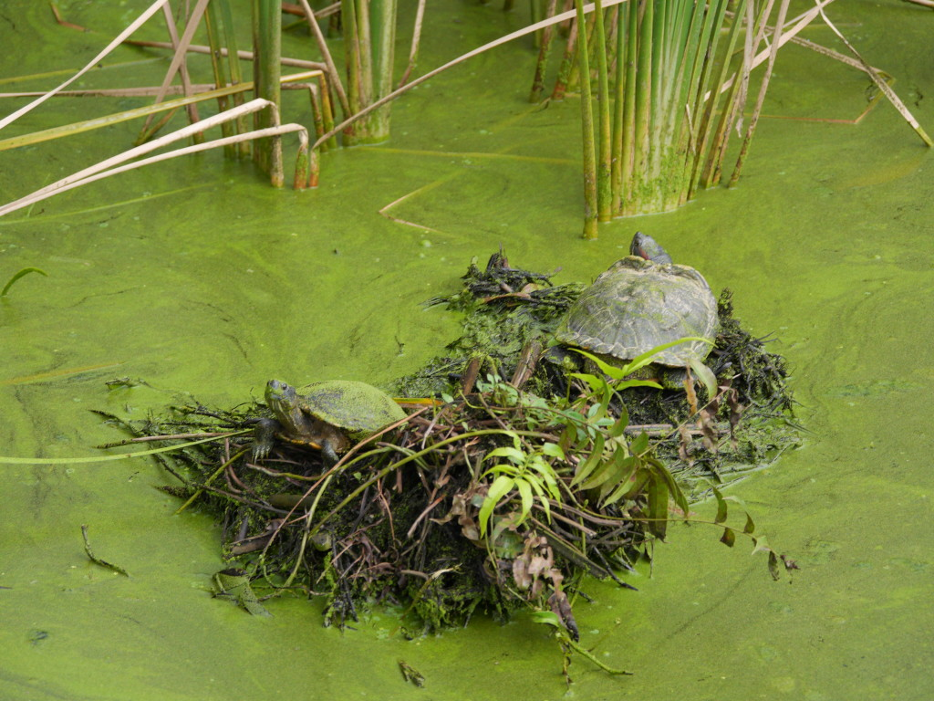Turtles_Sungei_Buloh_Wetland_Reserve_Costal