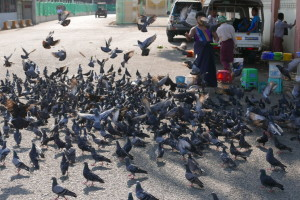 Birds in Yangon (Rangoon), Myanmar (Burma)