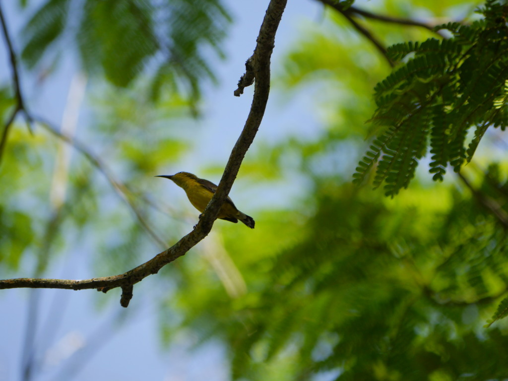 Brown-throated (or Plain-throated) Sunbird (Anthreptes malacensis)