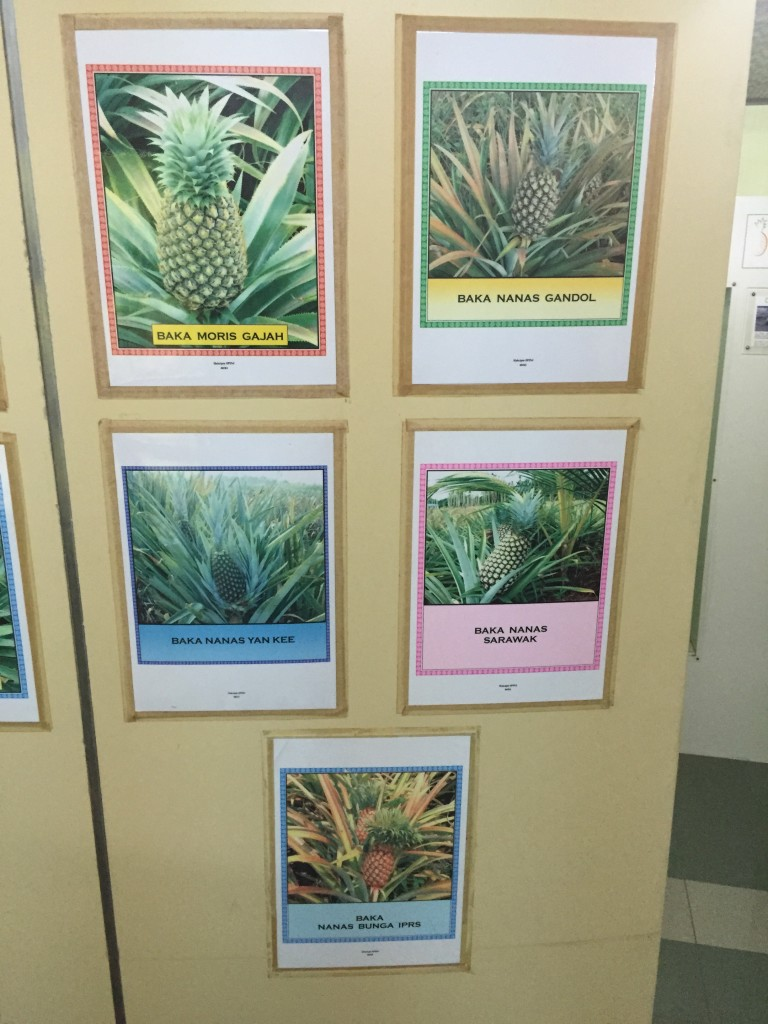 Pineapples at the Muzium Nanas Johor