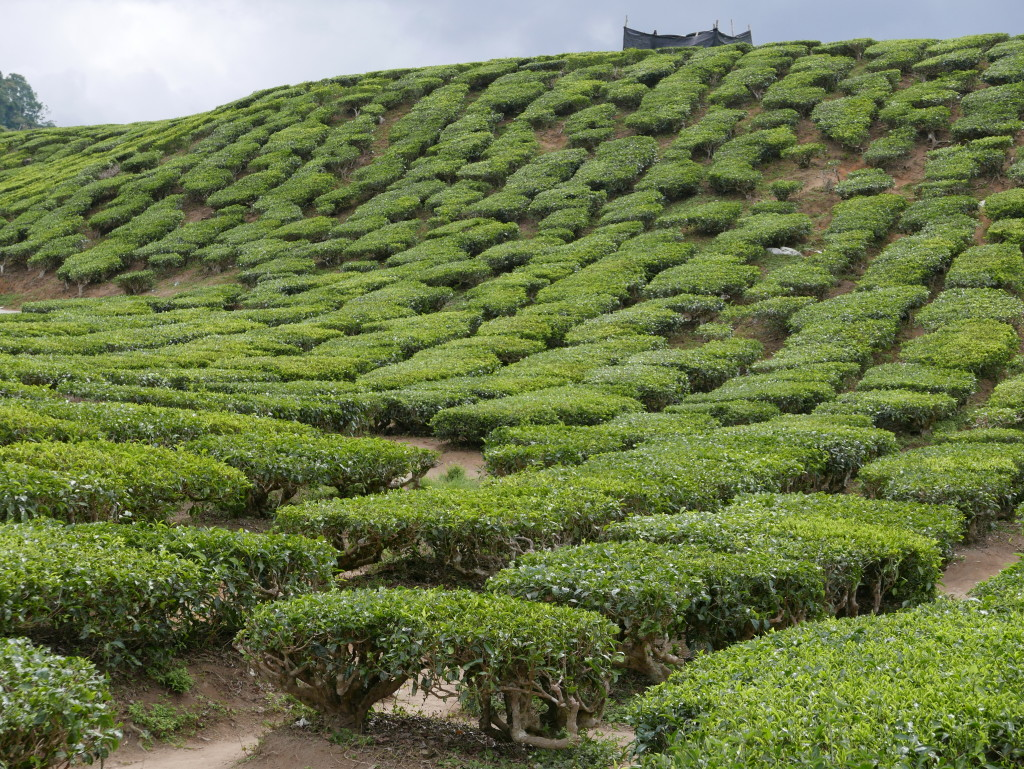 Tea plants at Cameron Valley Tea