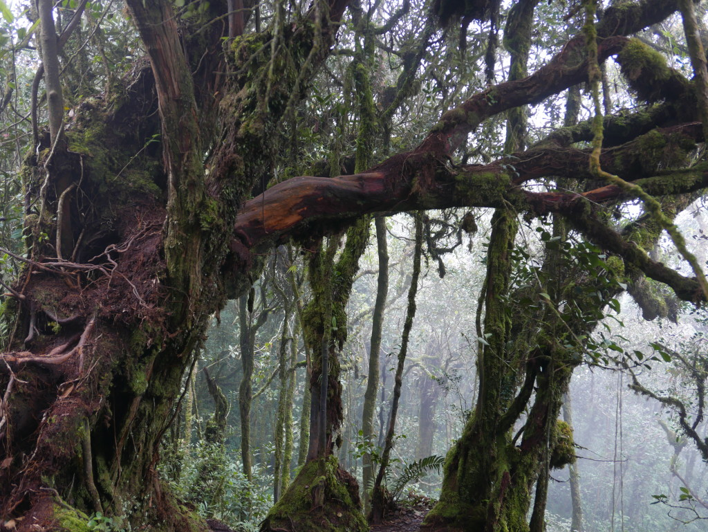 Contorted trees in the Mossy Forest