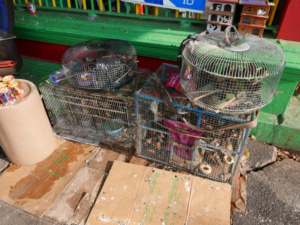 birds for sale in myanmar