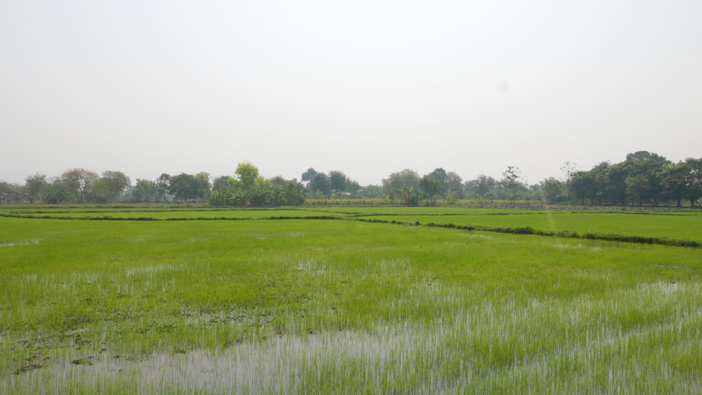 mandalay bike tour paddy field